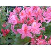 Rhododendron 'Jolie Madame'