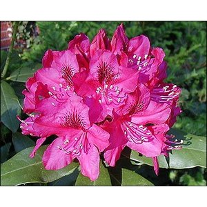 Rhododendron 'Pink Lady'