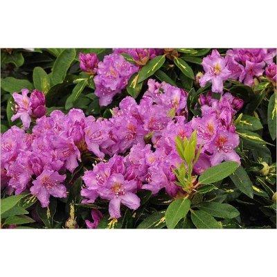 Rhododendron 'Carol. Allbrook'