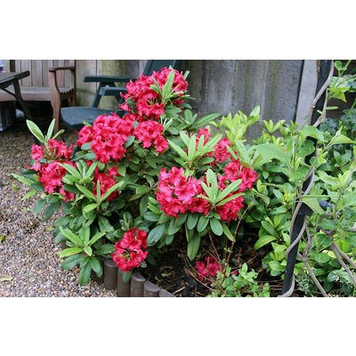 Rhododendron 'Dopey'