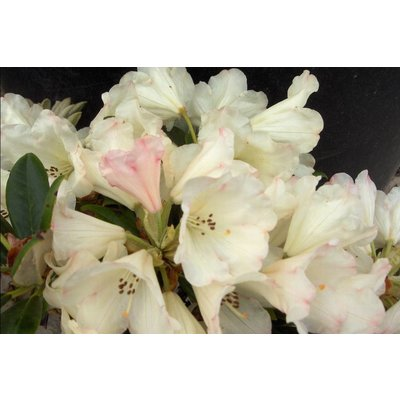 Rhododendron 'Dusty Miller'