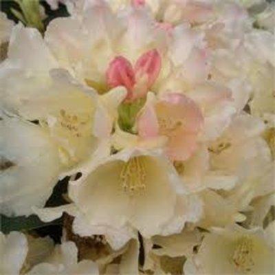 Rhododendron 'Golden Torch'