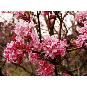 Viburnum bodnantense 'Dawn' ''Sneeuwbal''