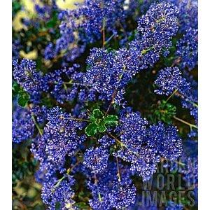 Ceanothus Blue Sapphire