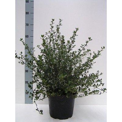 Ceanothus impressus 'Victoria'
