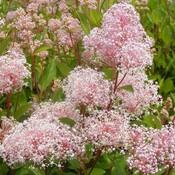 Ceanothus pallidus 'Perle Rose'