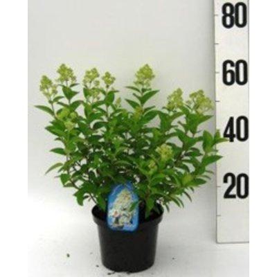 Hydrangea paniculata Magical Candle