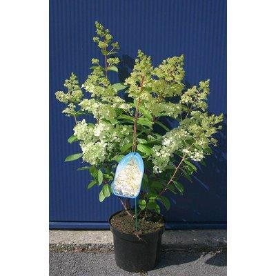 Hydrangea paniculata 'Magical Moonlight'
