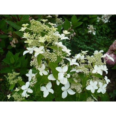 Hydrangea paniculata 'Magical Starlight'