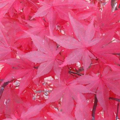 Acer Palmatum Fireglow