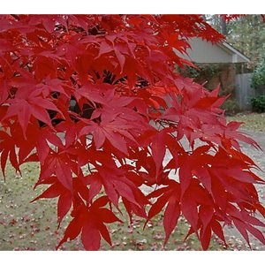 Acer Palmatum Moonfire