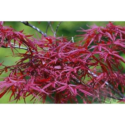 Acer Palmatum Red Pygmy