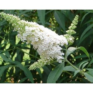 Buddleja davidii 'White Bouquet'