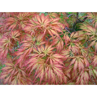 Acer Palmatum Emerald Lace