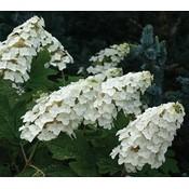 Hydrangea querc. Snow Queen