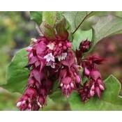 Leycesteria formosa 'Purple Rain'