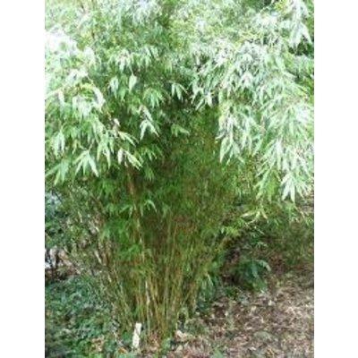 Bamboe Fargesia Denudata