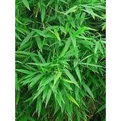 Bamboe Fargesia Panda