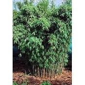 Bamboe Fargesia Standing Stone