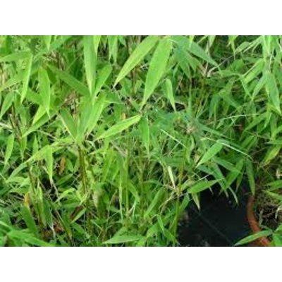 Bamboe Fargesia Tiny