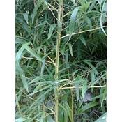 Phyllostachys aureos. 'Aureocaulis'