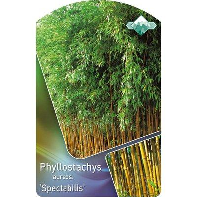 Phyllostachys aureos. 'Spectabilis'