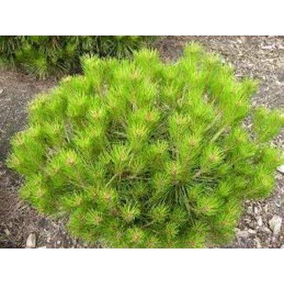 Pinus dens. 'Alice Verkade'