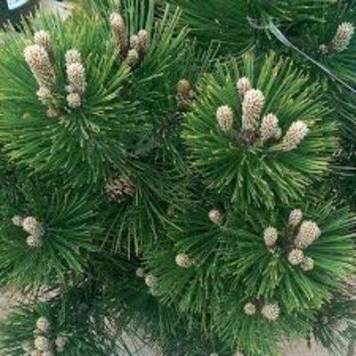 Pinus mugo 'Heideperle'