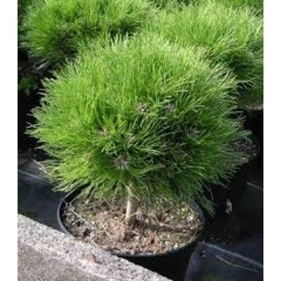 Pinus nigra 'Marie Br