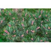 Pinus parv. 'Glauca'