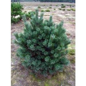 Pinus sylv. 'Watereri'
