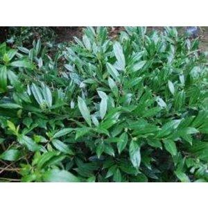 Prunus laurocerasus 'Mount Vernon'