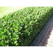 Prunus laurocerasus 'Herbergii'