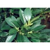 Prunus laurocerasus 'Van Nes'
