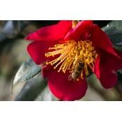 Camellia vernalis 'Hiryu'