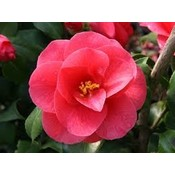 Camellia japonica 'Mary Williams'