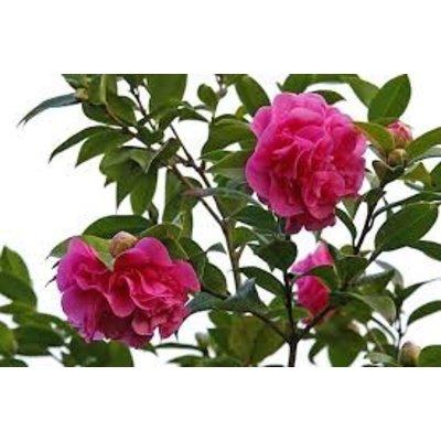 Camellia Hybr Spring Festival