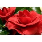 Camellia Jap Rubens