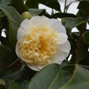 Camellia williamsii 'Jury's Yellow'
