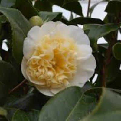 Camellia williamsii 'Jury's Yellow'