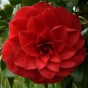 Camellia japonica 'Black Lace''