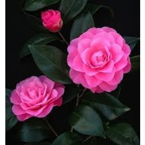 Camellia japonica 'Mrs Tingley''