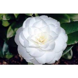 Camellia japonica 'Alba Plena'