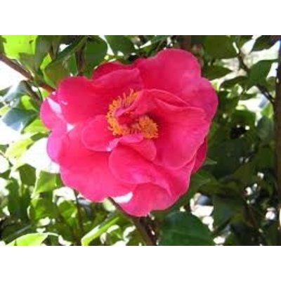 Camellia japonica 'Dr. King'