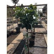 Prunus Etna op stam