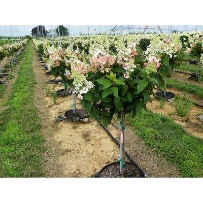 Hydrangea paniculata 'Pinky Winky' op stam