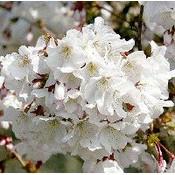Prunus nipp. 'Brillant' op stam