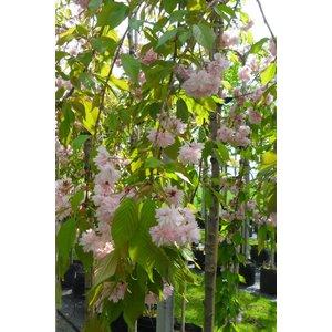 Prunus serr. 'Kiku Shidare' op stam