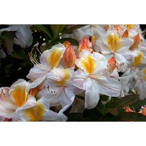 Azalea Silver Slipper