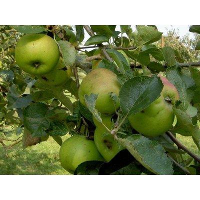 Appel Domestica 'Bramley's Seedling